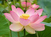 lotus11