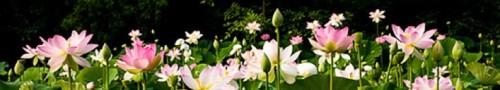 cropped-cropped-lotus_31.jpg