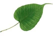 Pipal Bo Tree