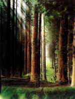 redwood-forest