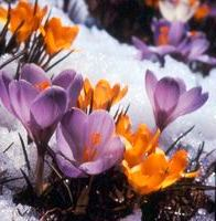 crocus_snow1