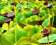 lotus_seed_pods