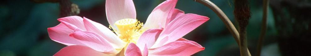cropped-dps-bali-ubud-puri-lukisan-art-museum-garden-lotus-flower-b.jpg
