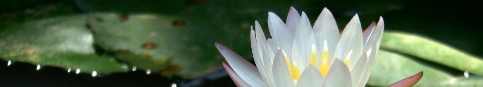 cropped-whitelotus.jpg