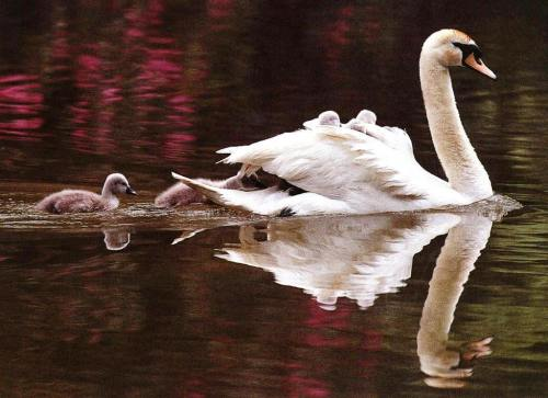 swan-babies