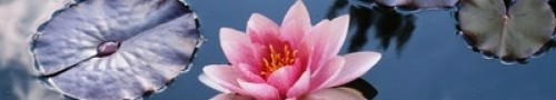 cropped-lotus-in-the-pond.jpg