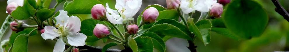 cropped-apple-blossom-branch.jpg