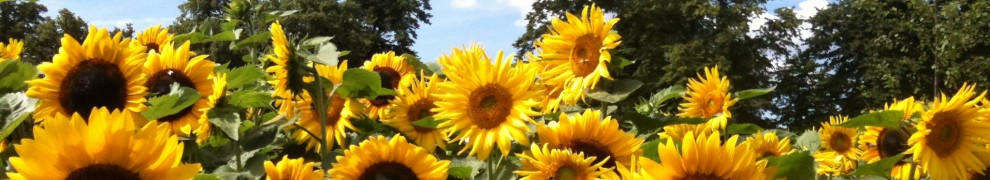 cropped-sunflowers.jpg