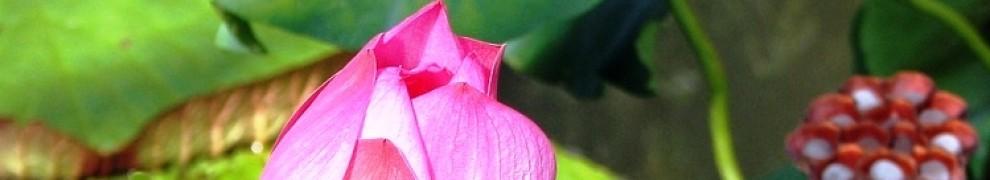 cropped-lotusbud1.jpg