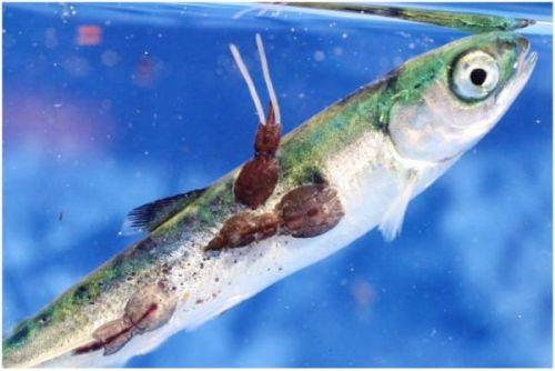 sick-salmon