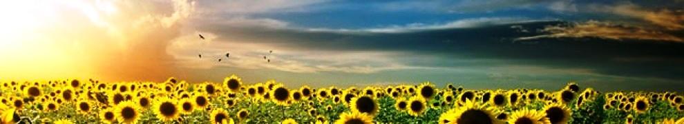 cropped-girl-in-sunflower-field-header