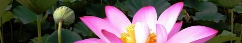 cropped-lotusflower