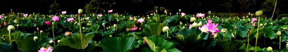 cropped-lotusflower11.jpg
