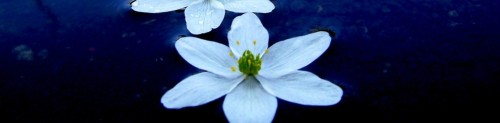 cropped-white-lotus-71421.jpg