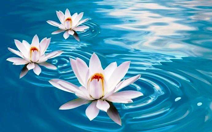 White-Lotus-in-Water-690x432