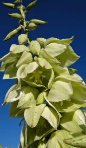 yucca-campestris