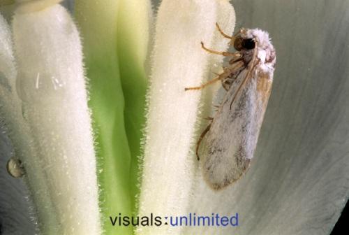 yucca-moth