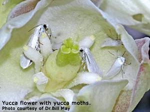 yucca_moths