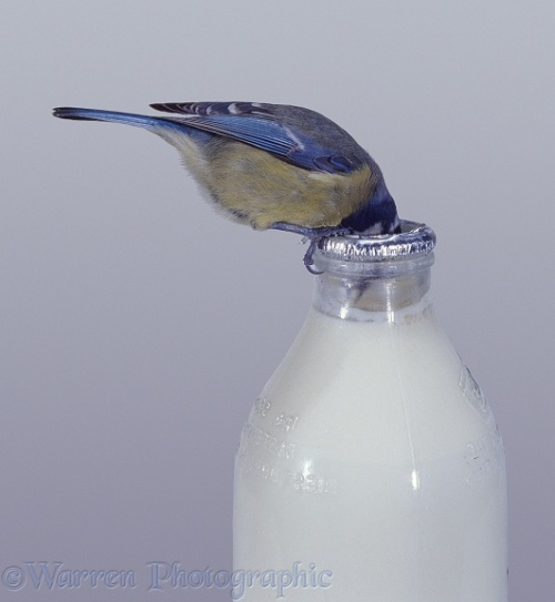 Blue Tit (Parus caeruleus) drinking cream from the top of a milk bottle