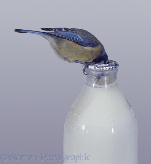 Blue Tit (Parus caeruleus) drinking cream from the top of a milk bottle