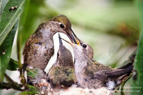 annas-hummingbird-baby-2