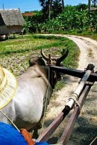 ox_cart_riding1