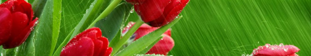 cropped-red-tulips-in-rain.jpg