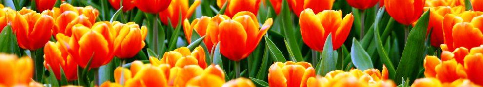 cropped-orange-tulips.jpg