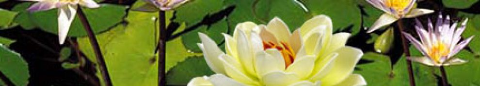 cropped-lotus-flower.jpg