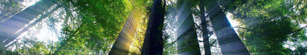 cropped-redwoods.jpg